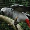 Grijze roodstaartpapegaai (Psittacus erithacus) staal