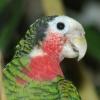 Cubaanse amazone (Amazona leucocephala) staal