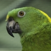 Geelnekamazone (Amazona auropalliata) staal