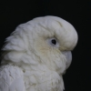 Filipijnse kaketoe (Cacatua haematuropygia) RVS316 10 mm