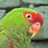 roodbril- of prachtamazone (Amazona pretrei) 11 mm aluminium